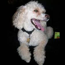 A Miniature Poodle.