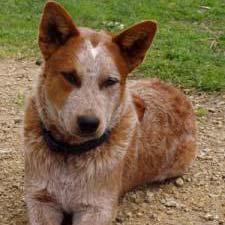 A Red Heeler dog.