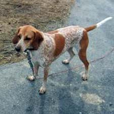 A Redtick Coonhound dog.