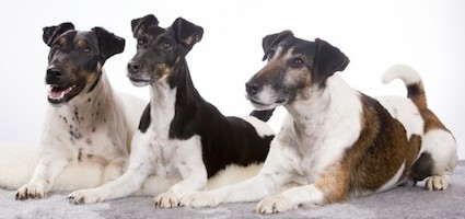 Get To Know The Smooth Fox Terrier One Confident Dog