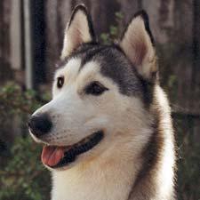 A Siberian Husky dog.