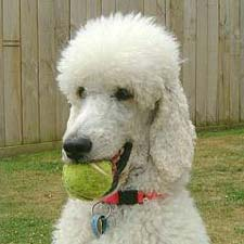 Poodle Weight Facts About the Standa...