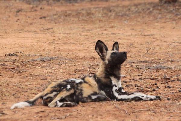 AfricanWildDogs2