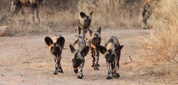 AfricanWildDogsPacks