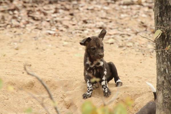 AfricanWildDogsPuppy