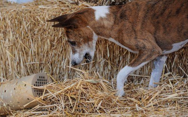 A Basenji dog. Photography courtesy Linda Siekert and photographer Debbie A. Maerker