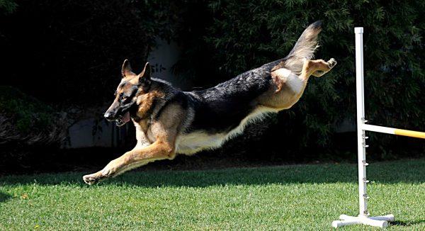 A German Shepherd leaps through an agility course.