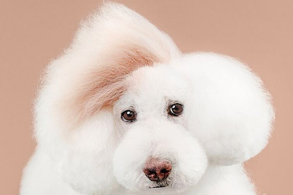 Grooming dogster in hairy grace chon captures the magic of japanese dog grooming solutioingenieria Images
