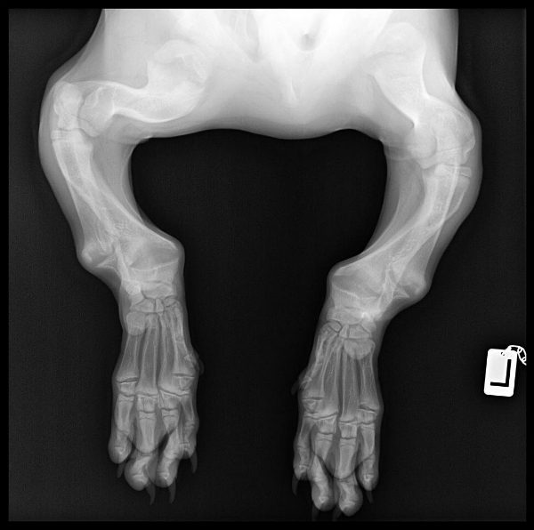 Hank's x-rays revealed badly curved bones. (Photo courtesy @adwarfable_hank)