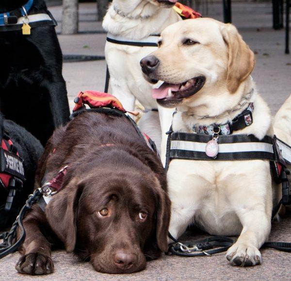 Two Labrador Retrievers courtesy Black Dogs Rule and Deborah Stern