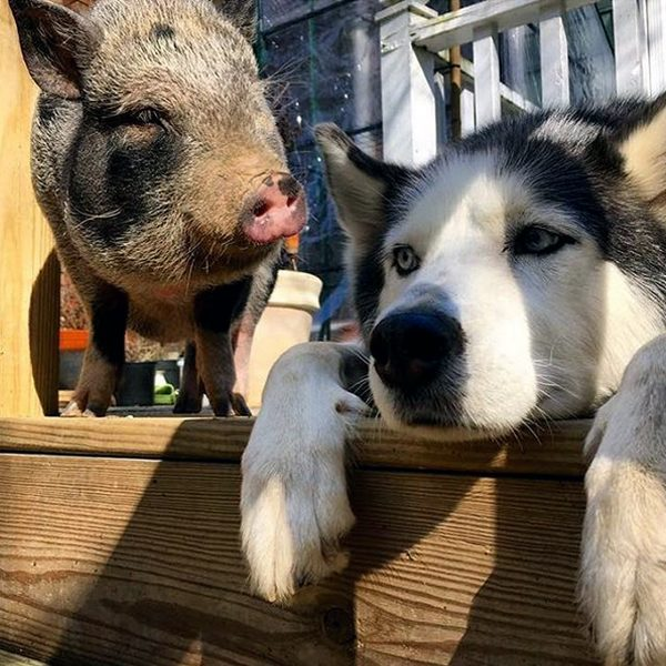 are pigs smarter than dogs