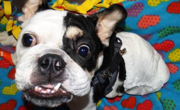 We Say Goodbye To Bonsai The Half Bulldog