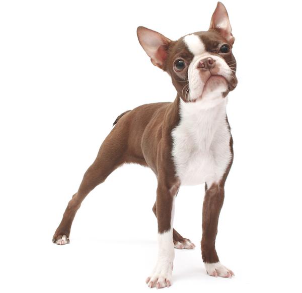 Boston Terrier by Shutterstock.
