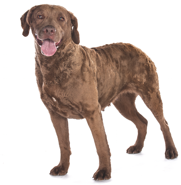 Chesapeake Bay Retriever by Gina Cioli/Lumina Media.