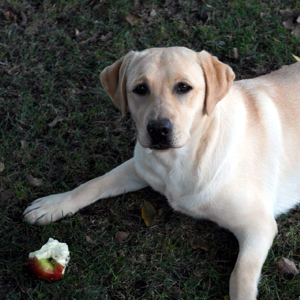 apples good for dogs