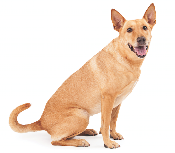 Carolina dog by Shutterstock.
