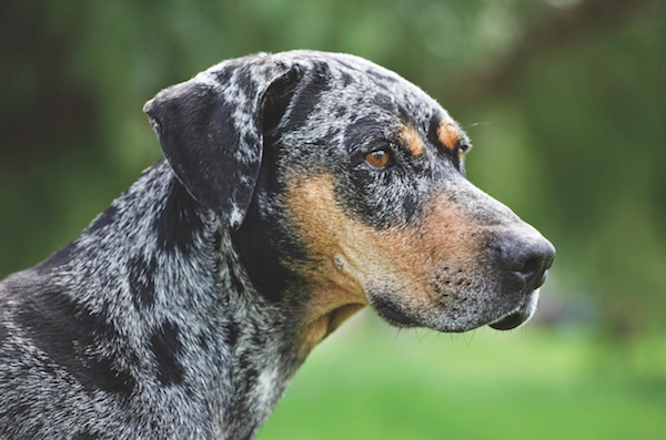 Catahoula Leopard Dog by istock.