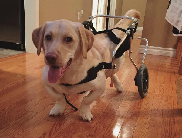 Hank had to use a wheelchair to help him exercise while he was recovering. (Photo courtesy @adwarfable_hank)