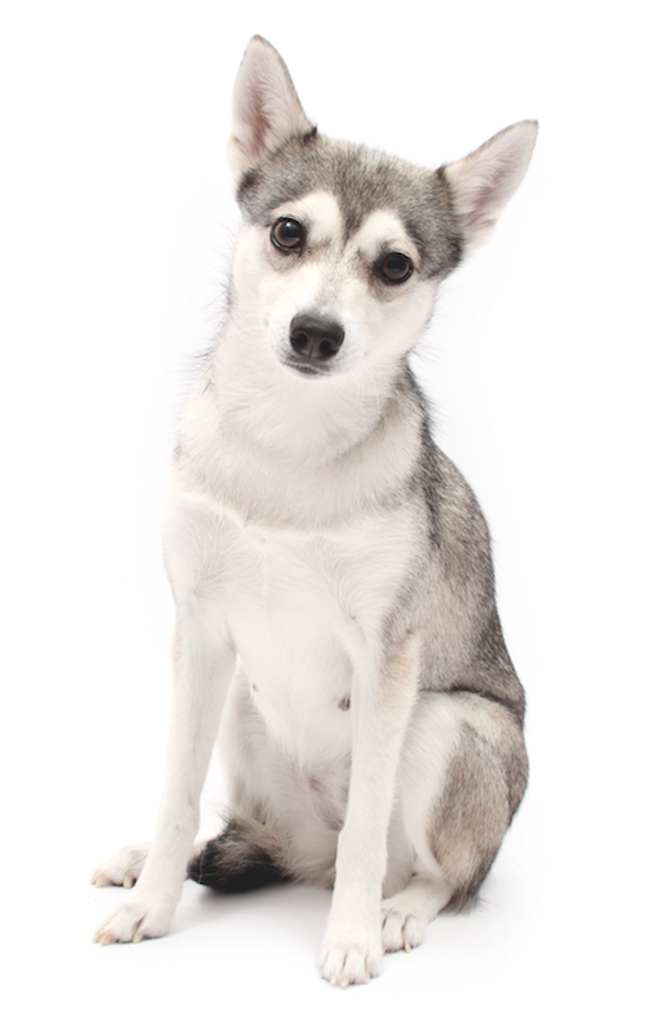 Klee Kai by Gina Cioli/Lumina Media.