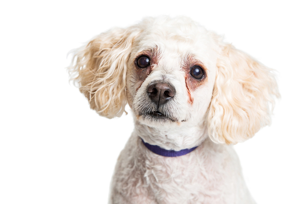 Poodle with tear stains by Shutterstock.