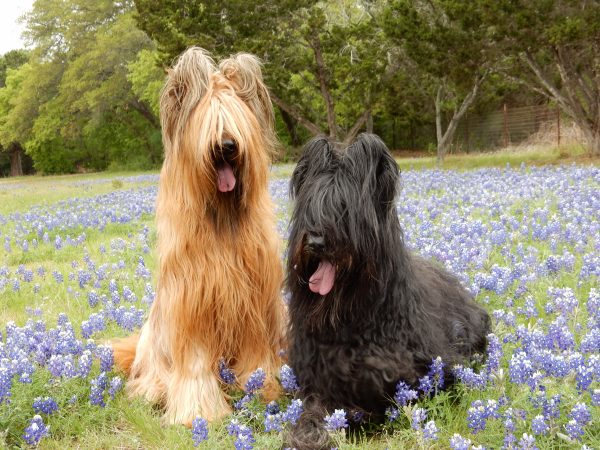 Briard courtesy Connie Nelin
