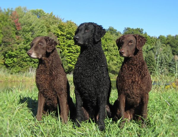 Curly Coated Retriever courtesy Jennifer Harms