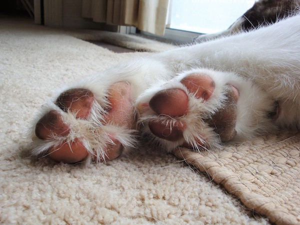 The toes of Rebel, an Alaskan Malamute.