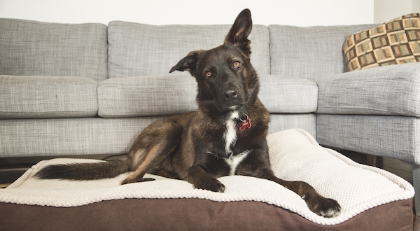 Dog on pet bed by Gina Cioli/Lumina Media.