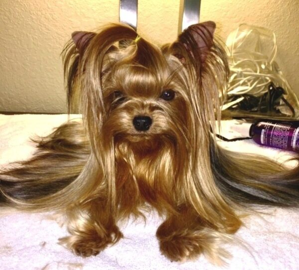 Yorkshire Terrier courtesy Zoey Porter