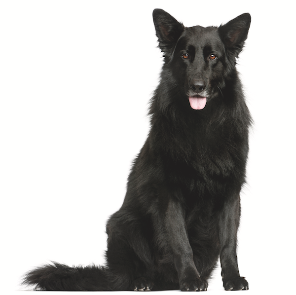 The Belgian Sheepdog or Groenendael by Shutterstock.