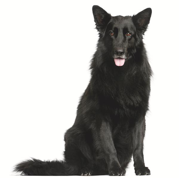 The Belgian Sheepdog or Groenendael by Shutterstock.