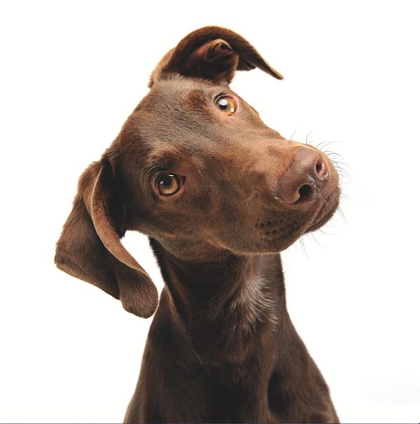 Dog ears by Shutterstock.