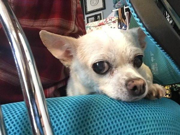 Fredo sitting with me while I work. (Photo by Wendy Newell)