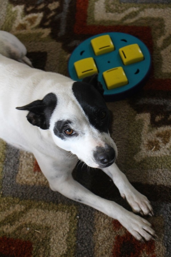 Mama Dog getting ready to play with the Outward Hound Doggy Blocks Puzzle. (Photo by Lisa Seger)