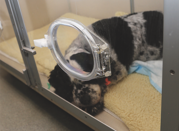 A dog receiving oxygen therapy.