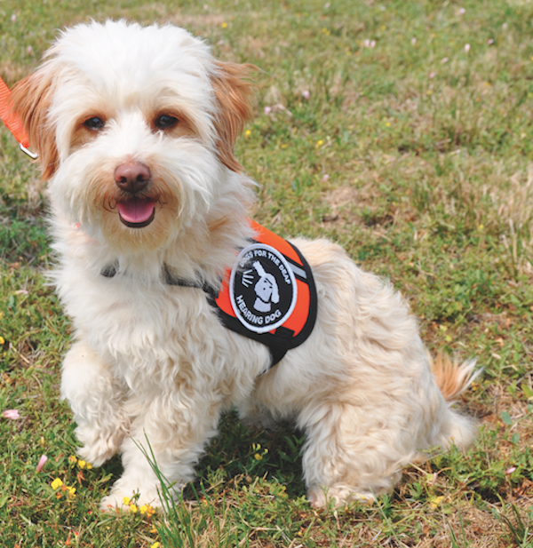 Hearing dog Peaches. (Photo courtesy Dogs for the Deaf)
