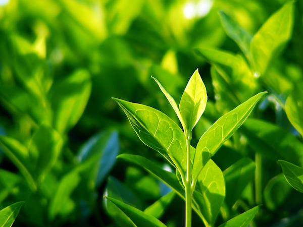 Green tea plants by Shutterstock.