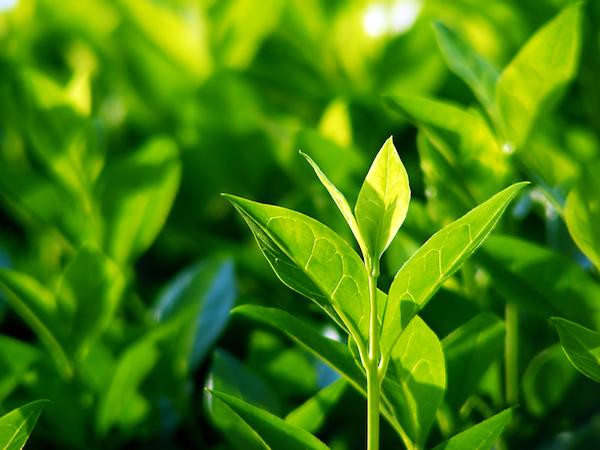 Green tea plants by Shutterstock.