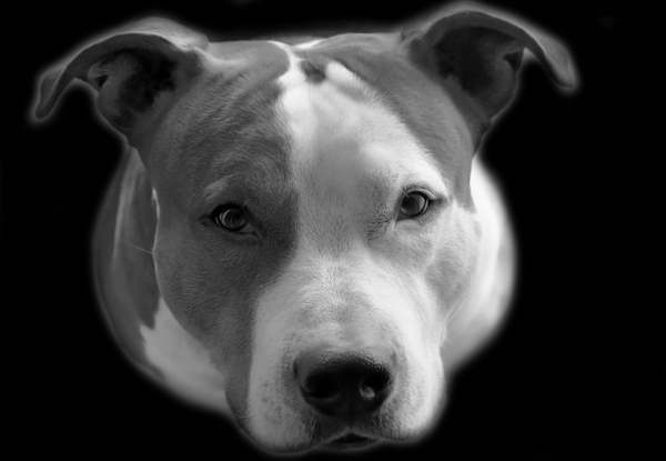 Pit Bull by Shutterstock.