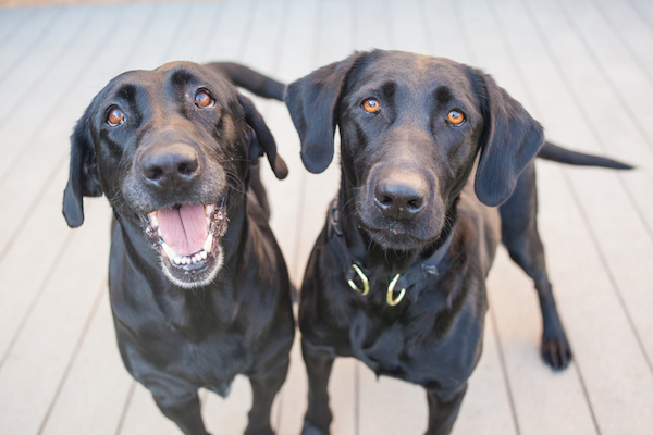 Two black Labrador Retrievers by Shutterstock.