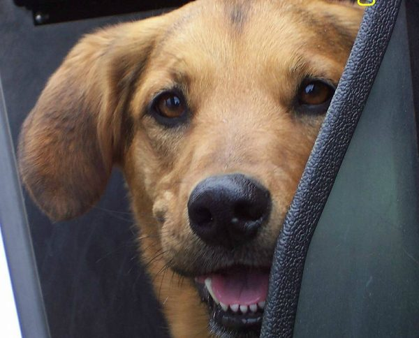 One-year-old Flash takes a ride in the back of a police car. (Photo courtesy Project K-9 Hero)