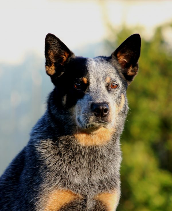 An Australian Cattle Dog may live into his teens.
