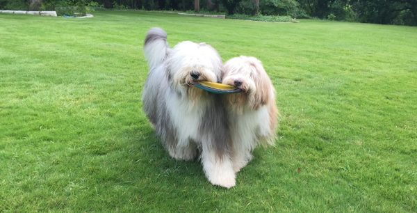 Bearded Collie courtesy Debbie Chandler