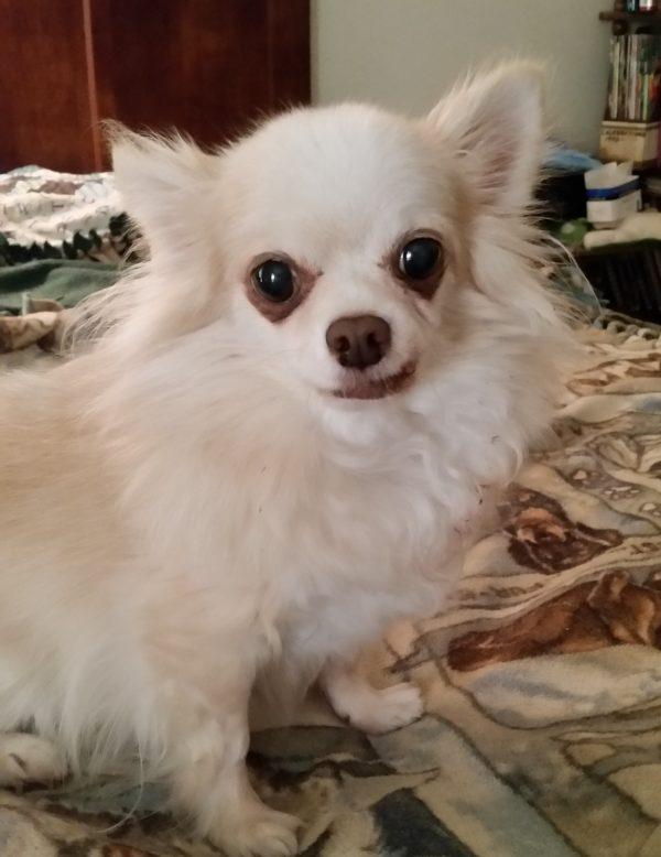 Chihuahua courtesy Barbara Jeleski
