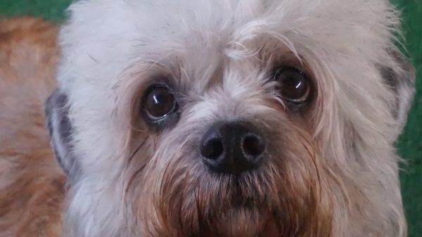 Dandie Dinmont Terrier courtesy Cathi Tower Chiscaden