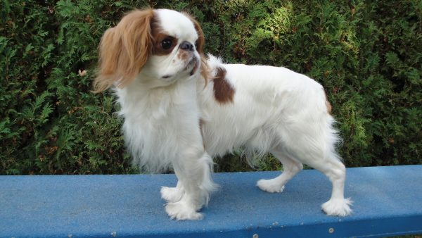 English Toy Spaniel courtesy Sharon Wagner