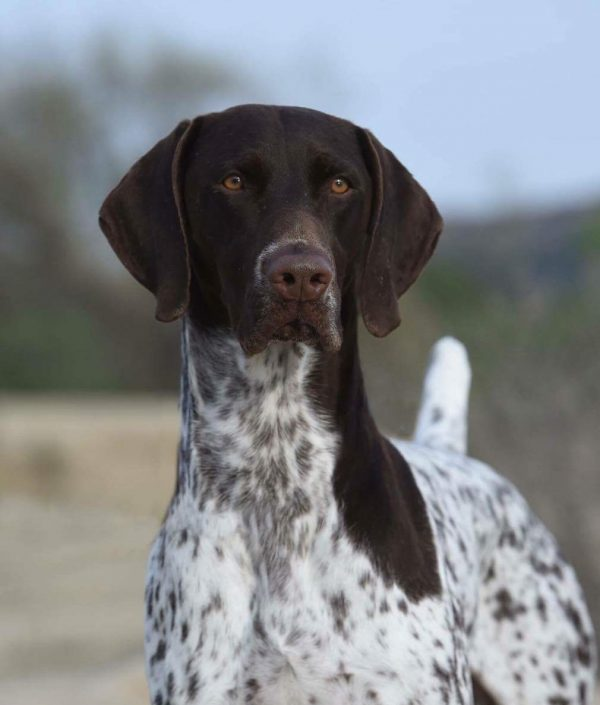 German Shorthaired Pointer courtesy Valerie Nunes-Atkinson. Gay Glazbrook photography