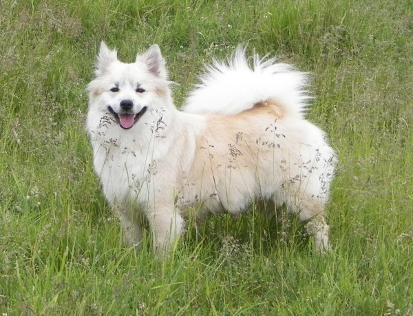 Icelandic Sheepdog courtesy Laurie Ball-Gisch