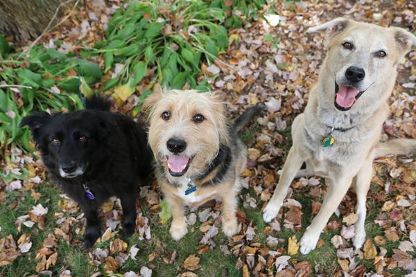 My three dogs sitting pretty among the leaves: Lilah, Tucker and Jasper. (Photo by Susan C. Willett)