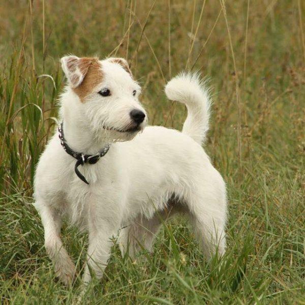 Parson Russell Terrier courtesy Amanda Labadie